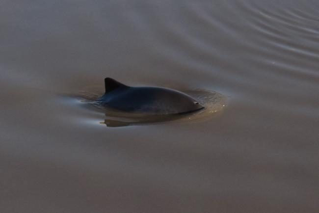 Porpoise at Sharpness. Photo by Mike Nash