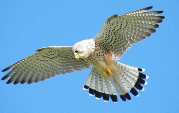 Gazette Series: Nesting kestral costs taxpayer £11,000