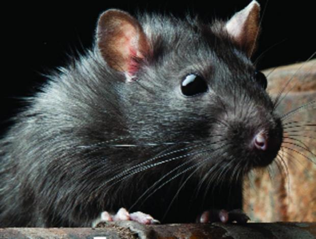 Gazette Series: Rat population surge expected after council cuts