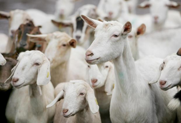 Farmers plead guilty to animal cruelty after 32 goats culled