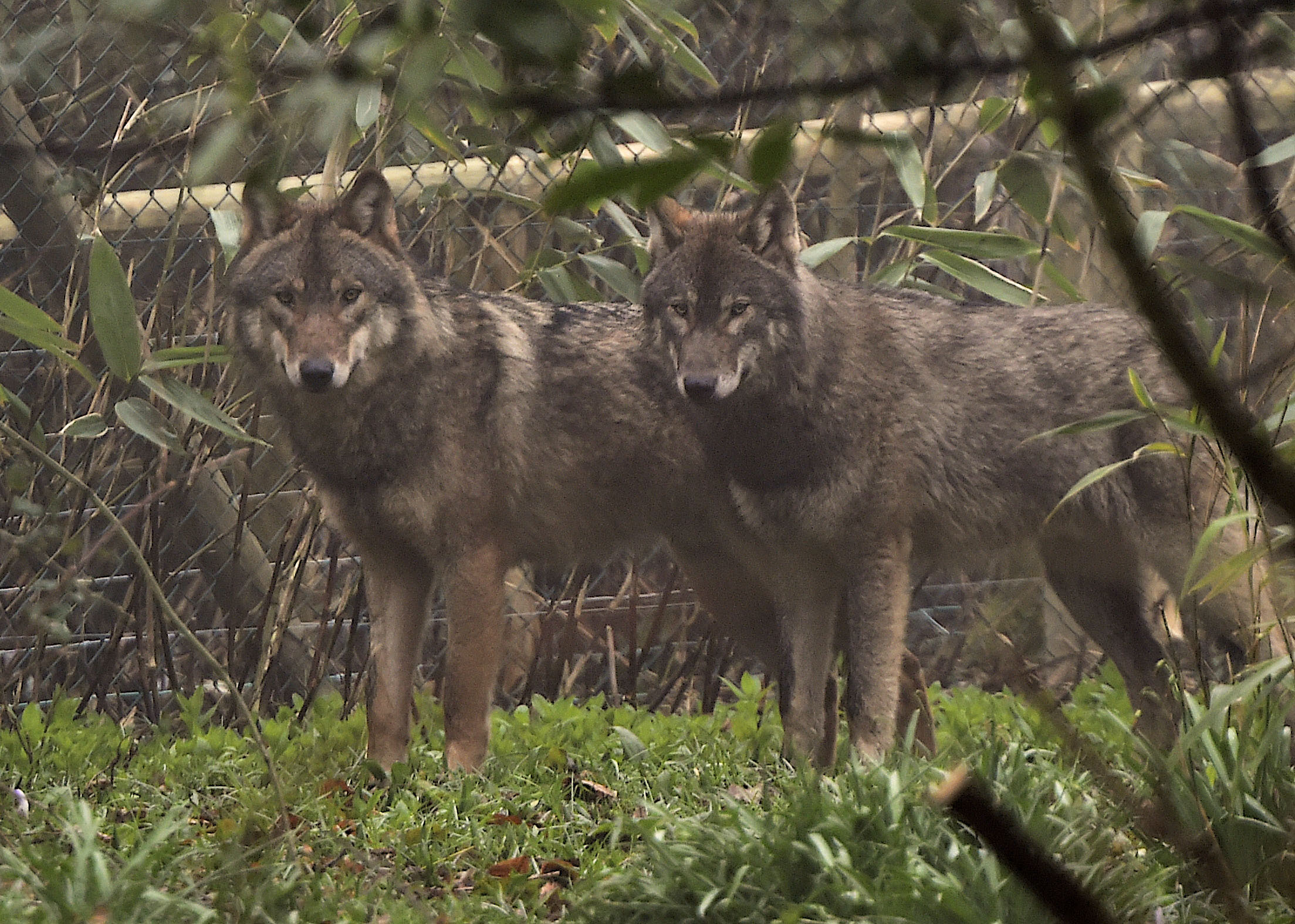 A pack of wolves have been settling in at The Wild Place Project (photo by Bob Pitchford) (4660689)
