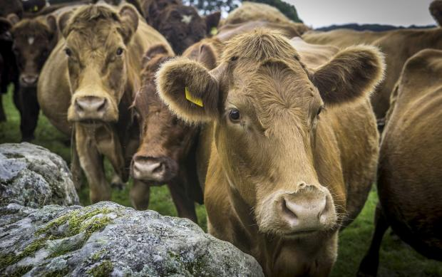 Drivers warned as cows return to commons