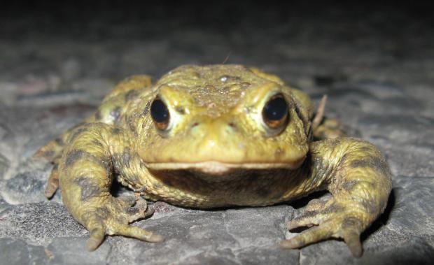 Gazette Series: Bufo bufo, the common European toad