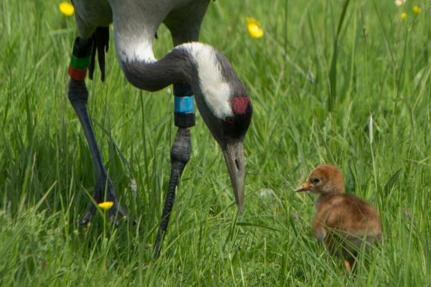 The newly-hatched chick enjoying some bonding time at the Slimbridge wetlands centre (6350225)