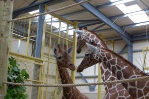 Trio of giraffe arrive at their new home in South Gloucestershire
