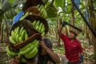 The Fairtrade Foundation is calling on people to support growers of key products such as bananas (Fairtrade Foundation/PA)
