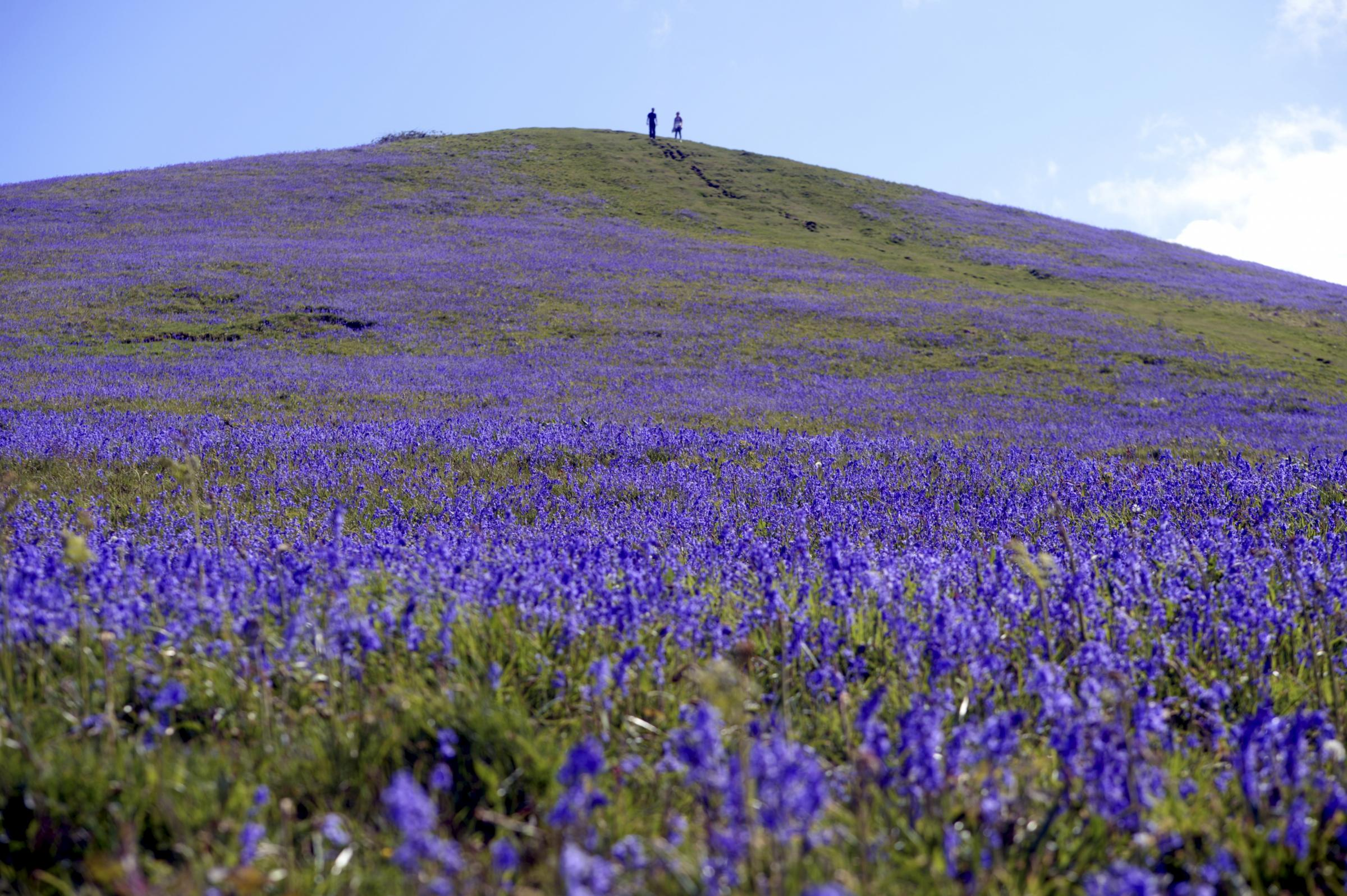 A fantastic display of Bluebells on Cam Peak near Dursley, Gloucestershire, UK, on Thursday 10th May.